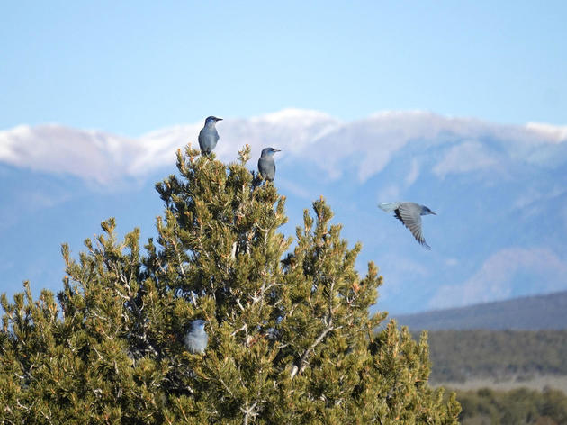 Bird Population Plummets in Piñon Forests Pummeled by Climate Change