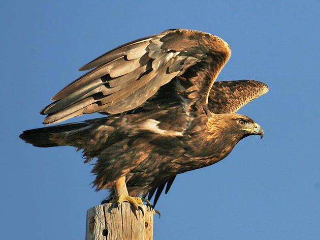 Injured Golden Eagle flies free thanks to a bit of teamwork