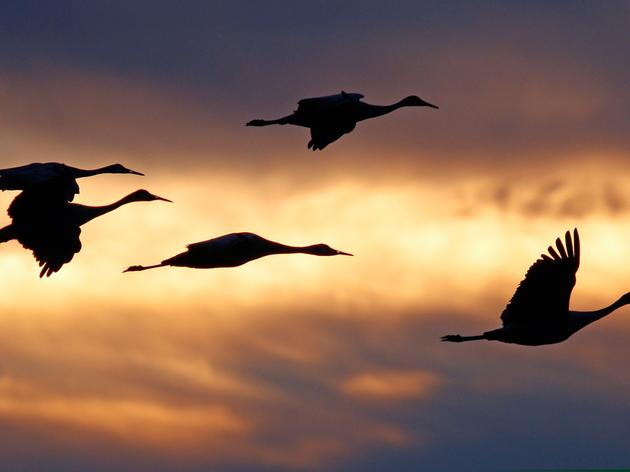 New Mexico: Consider the Sandhill Crane
