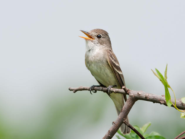 Home is a Healthy River for Southwestern Willow Flycatchers