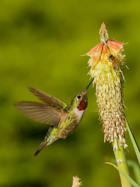 Broad-tailed Hummingbird with Red Hot Poker