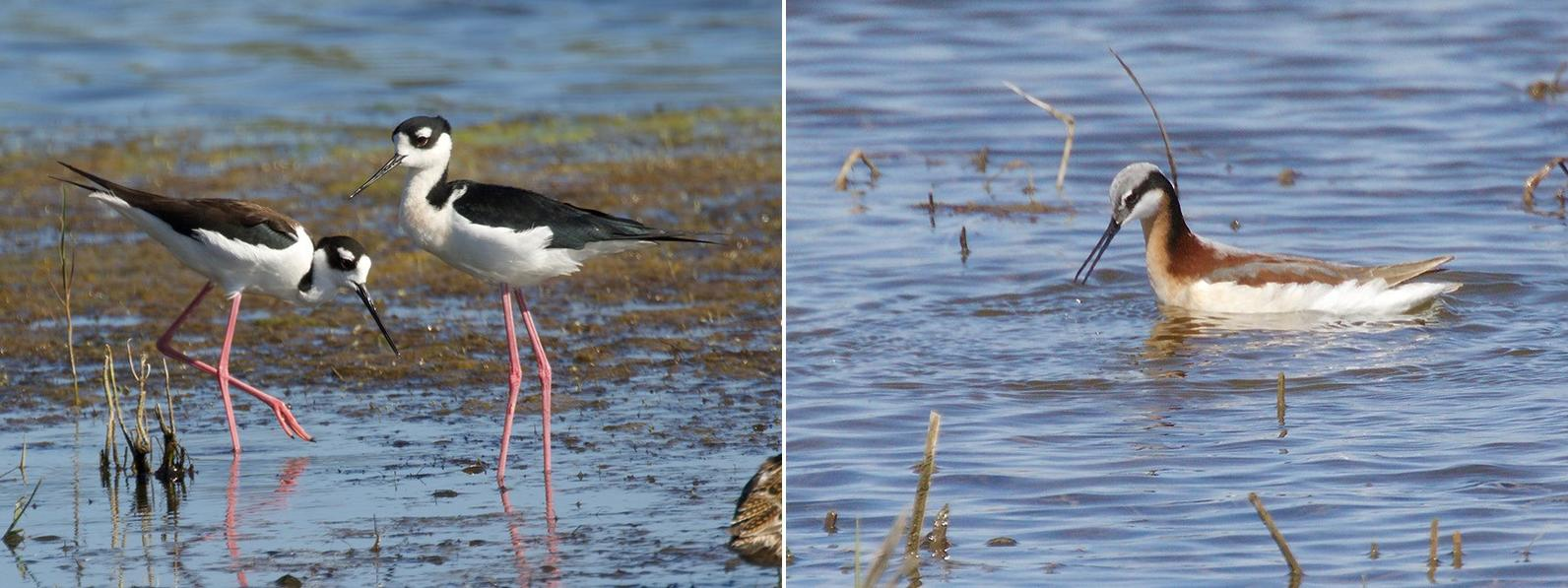 Black-necked Stilts left, Wilson's Phalarope right