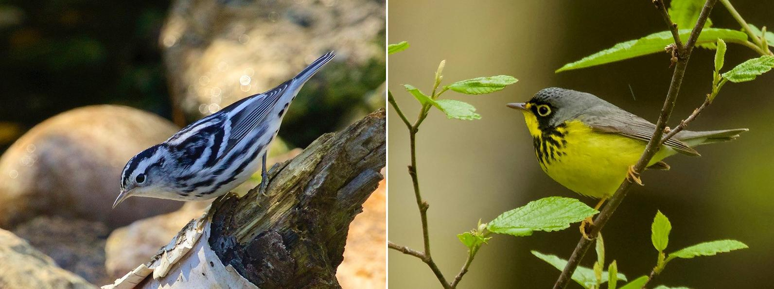 Black and white Warbler left, Canadian Warbler right