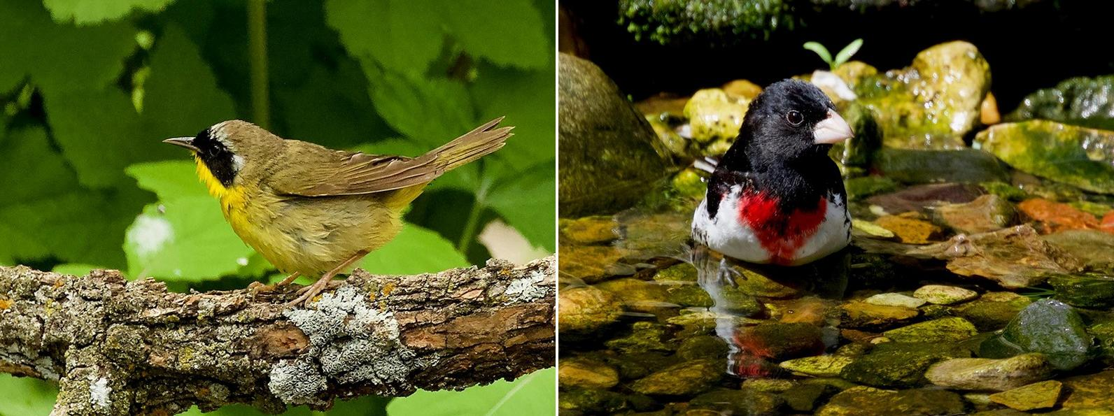 Common Yellowthroat left, Rose-breasted Grosbeak right