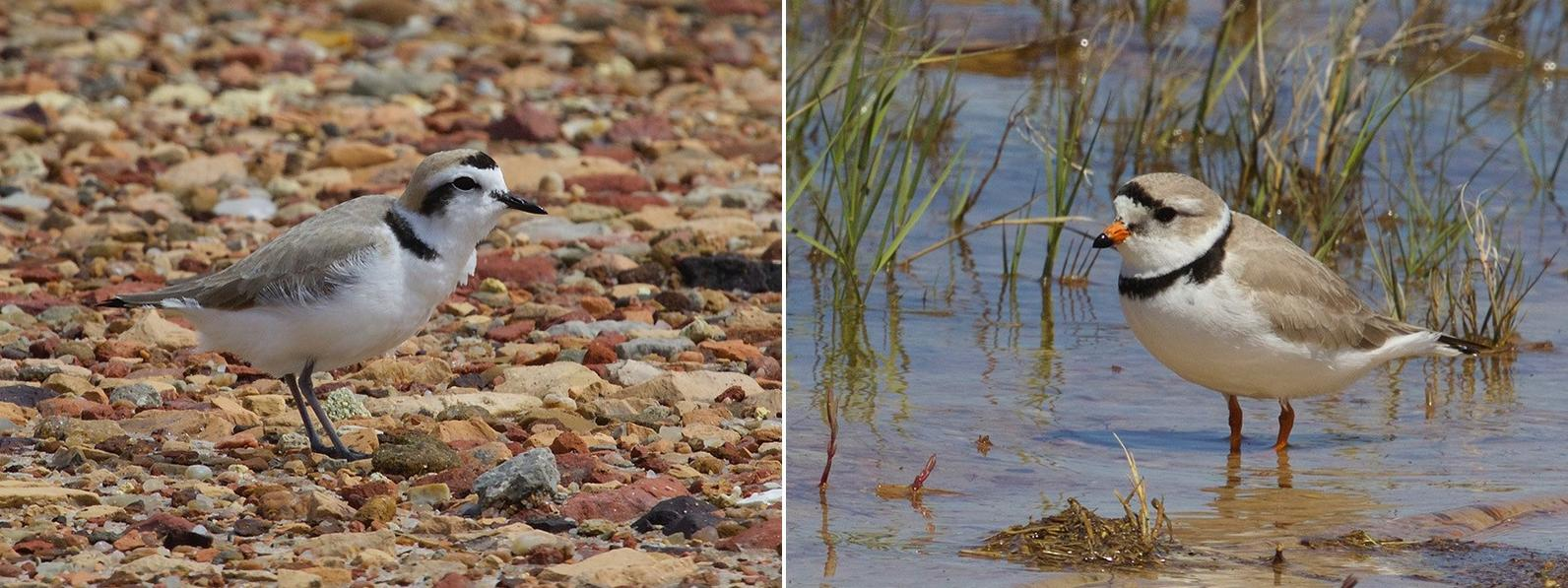 Snowy Plover left, Piping Plover right