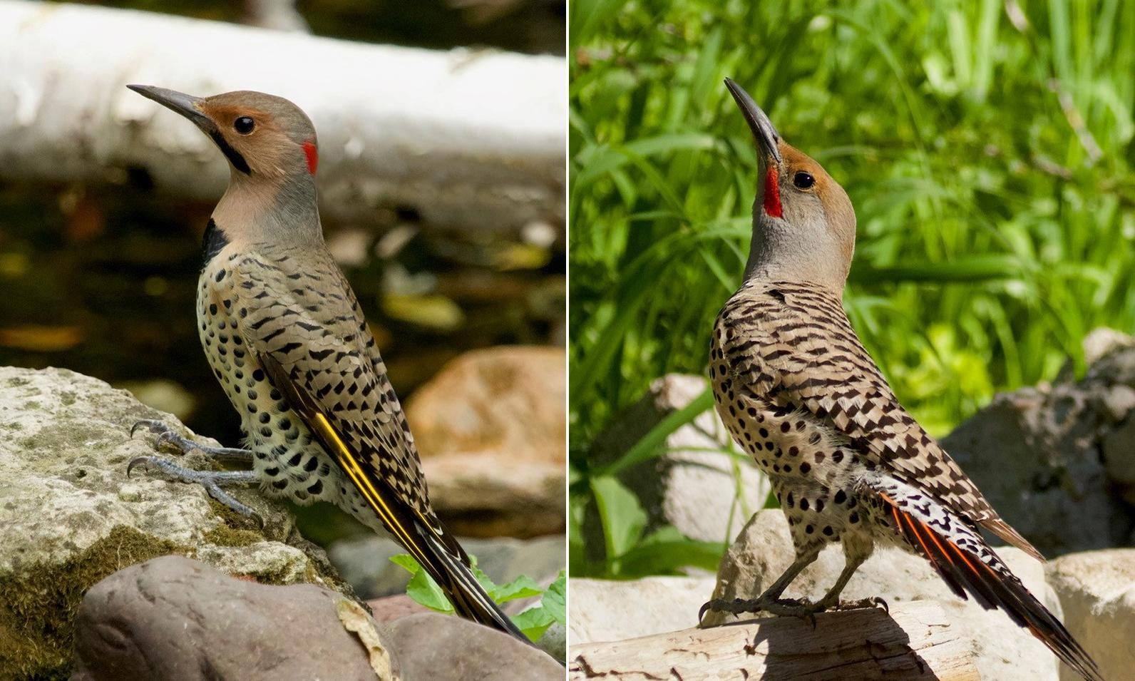 Yellow-shafted Flicker left, Red-shafted Flicker right