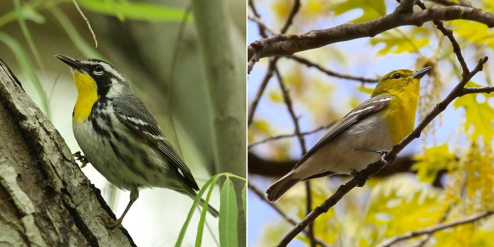 Yellow-throated Warbler left, Yellow-throated Vireo right